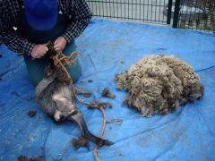 Alpacageschoren (9)