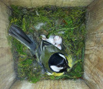 2020-05-14 koolmees op nest